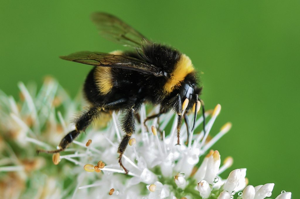Bumblebees Threatened by Warming World