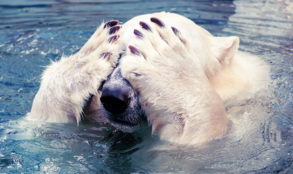 Polar Bear Scoffs at Apocalypse Never Michael Schellenberger Misleading Book & Op-Ed